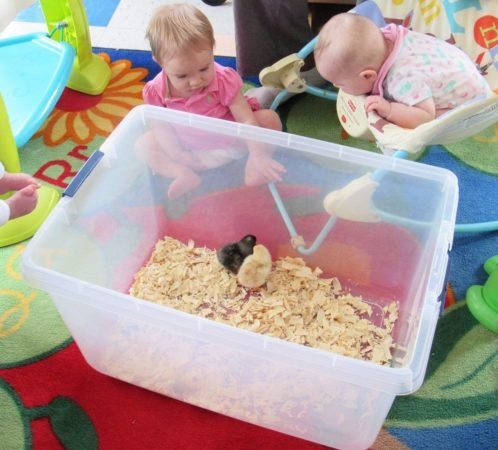 infants_watching_chicks_at_cadence_academy_preschool_harbison_columbia_sc-498x450